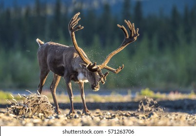 A bull caribou (Rangifer tarandus) shakes off water and fur after crossing the Teklanika River in the afternoon sun in Denali National Park, Alaska.
