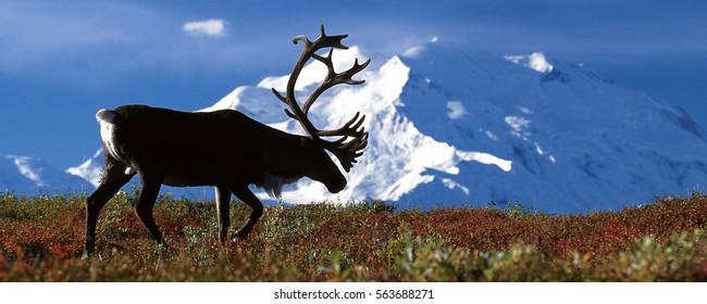 Bull caribou walking in front of Mt McKinley, (Rangifer tarandus), Alaska, Denali National Park