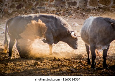 Bull charging ramming in a cattle raising ranch in mexico.