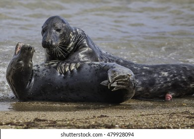Bull and cow Grey seal mating on the coast of Norfolk UK. An affectionate and clearly sexual pose from these two wild animals. The picture was taken of the Horsey colony on the East coast of England.