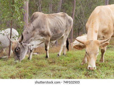 Bull and cow with horns grazing with other beef cattle on Australian pasture
