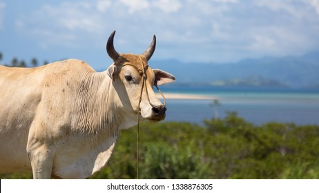 Bull cow with horns, looking over tropical sea view in Caramoan, Philippines