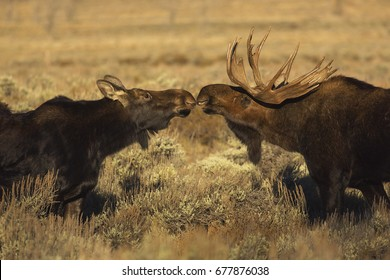A bull and cow moose share an intimate moment in Grand Teton National Park, Wyoming.