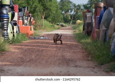 Bull Dog in country side Vietnam