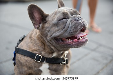 bull dog smiling panting with tongue out outside in summer