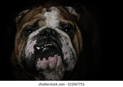 Bull dogs, Beware of this dog