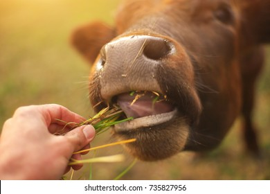 Bull eating the grass. Conceptual love and care scene.