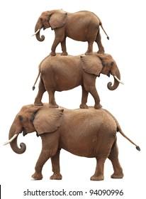 Bull elephant balancing act (photo composite). Isolated on white background