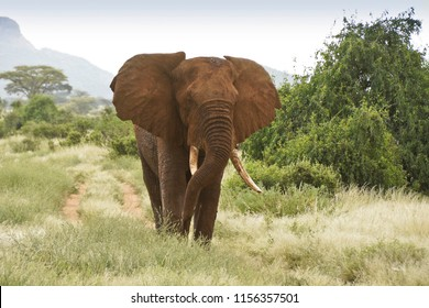 Bull elephant in Samburu Game Reserve, Kenya