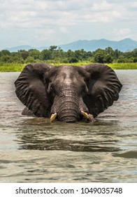 Bull elephant in the water, staring at observer.