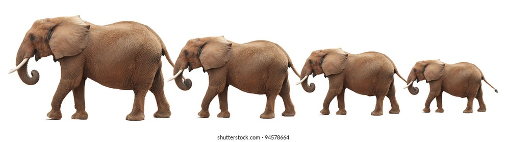 Bull elephants in a conga line  (photo composite). Isolated on white background