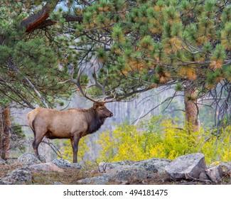 Bull elk amidst autumn colors in Rocky Mountain National Park, near Estes Park, Colorado.