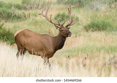 Bull elk with antlers in velvet. Colorado, USA.
