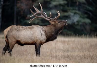 Bull Elk in Banff Canada