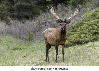 Bull Elk in Banff National Park, Alberta