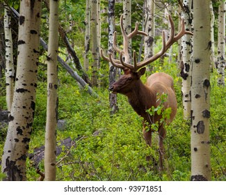 Bull elk browsing in a forest in Rocky Mountain National Park, Colorado.