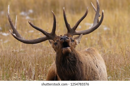 A Bull Elk Bugles While Laying Down During Rutting Season