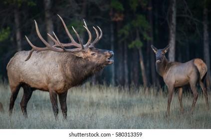 Bull elk bugling.