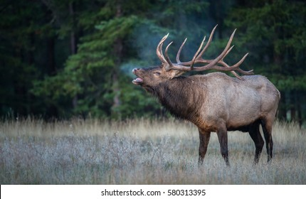 Bull elk bugling during the rut.