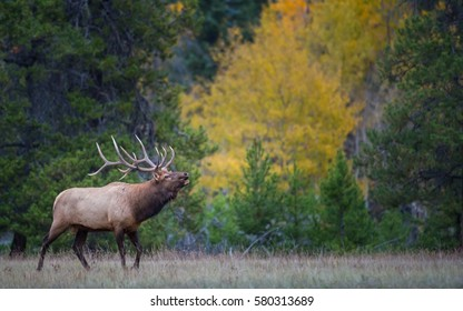 Bull elk bugling in the fall colors.