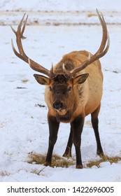 Bull elk closeup in snow at the National Elk Refuge in Jackson, Wyoming