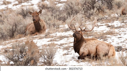 A bull elk and a cow elk laying in the snow