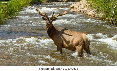 Bull Elk in Creek - A mature bull elk walking in the middle of a rapid Spring mountain creek. Fall River, Rocky Mountain National Park, Colorado, USA.