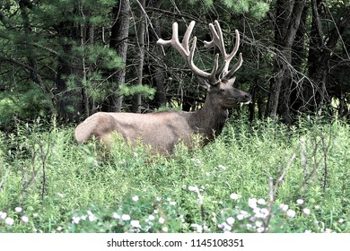 Bull elk dining on leaves