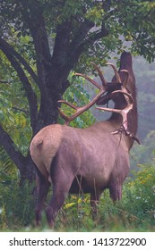 Bull elk dining on some tree leaves