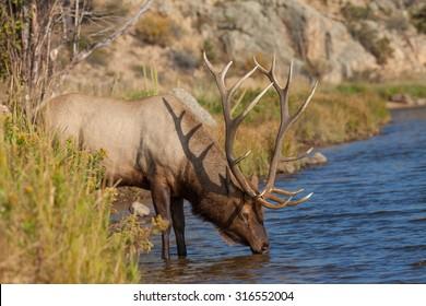 Bull Elk Drinking From Stream
