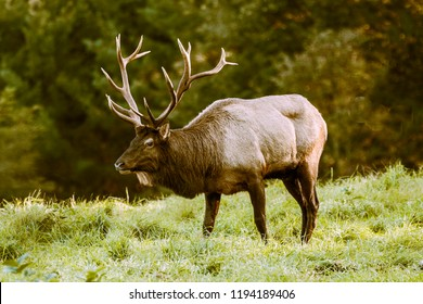 Bull elk during the fall rut