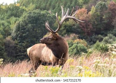 Bull elk during the rut