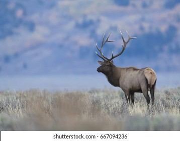 Bull elk during rut in sagebrush meadow with trees in background