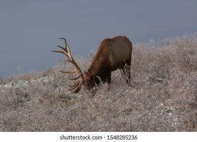 Bull Elk in eary snow in autumn in a mountain meadow