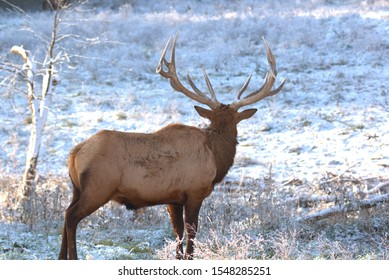 Bull Elk in eary snow in autumn in a mountain meados