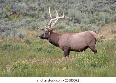 Bull Elk with Felt falling from horns licking lips