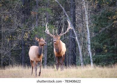 Bull Elk with female