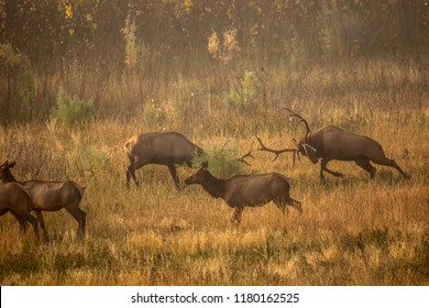 Bull elk fighting during the rut