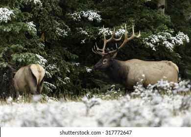 Bull Elk Following Cow Elk During Rut