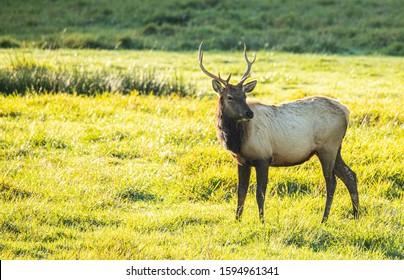 Bull Elk Foraging along side of Highway 101 Central Oregon Coast