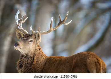Bull Elk in a forest