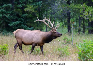 Bull elk in a forest meadow ,Colorado