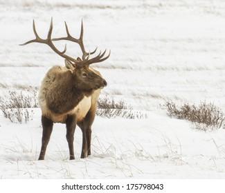 Bull elk found in winter in Jackson Hole Wyoming near the National elk refuge.