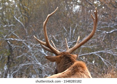 Bull elk with a full rack and snow on the trees in the background