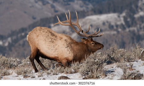 A bull elk getting ready to lay down; snow on the ground; large antlers