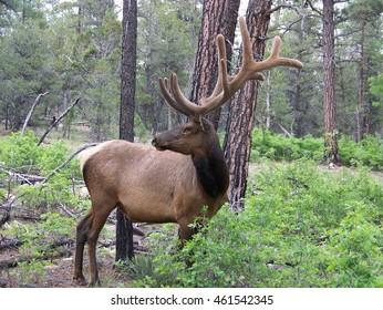 Bull Elk in Grand Canyon National Park