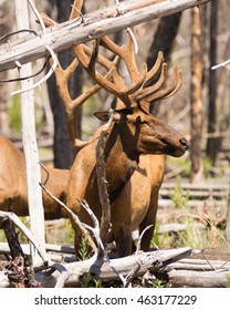 Bull Elk graze together in the sunshine at Yellowstone