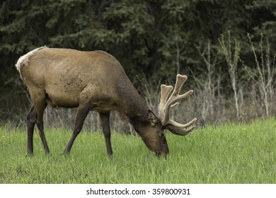 Bull Elk Grazing in Banff National Park, Alberta, Canada