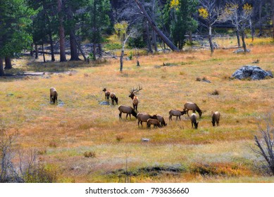 Bull Elk and His Harem of Cows
