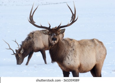 Bull elk with horns in the winter snow
